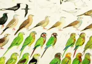 Bird illustrations by Miles McMullen