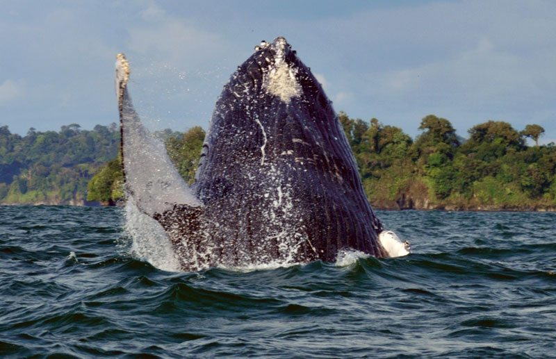 The whale season in Colombia starts mid July and runs until October.
