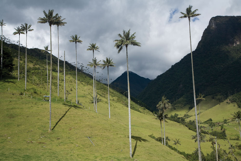 Colombia's national tree in the valley Cocora.
