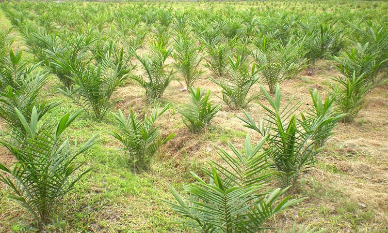 OpED-Palm