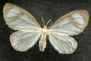 The Eloria Noyesi butterfly