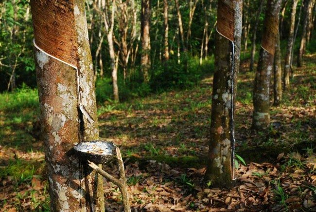 Rubber trees in Southeast Asia