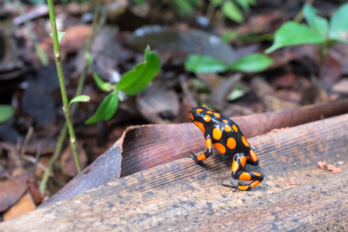 A poison arrow frog native to Colombia.