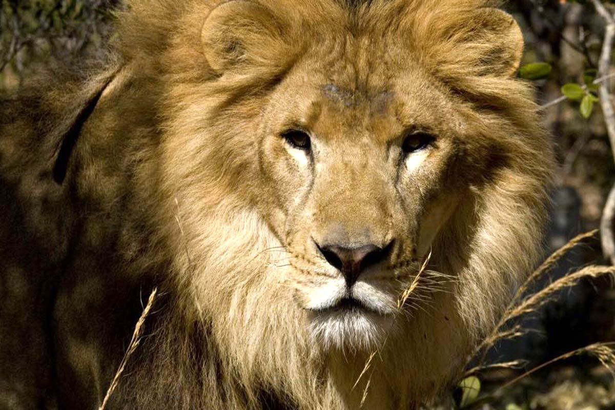 Lions rescued from Colombia and Peru are now free in South African cat sanctuaries.