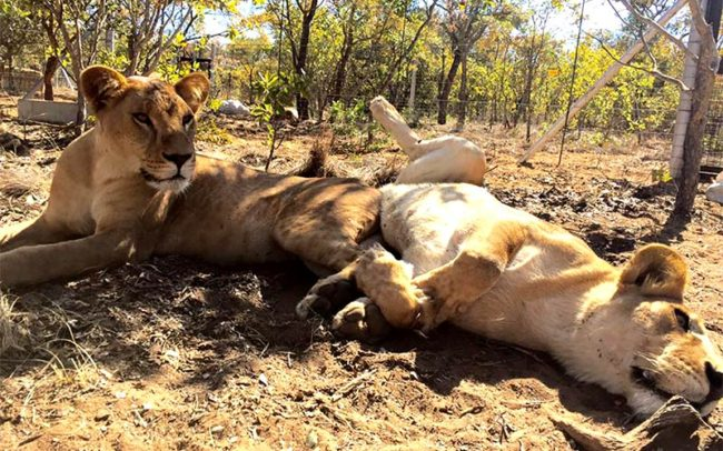 Rescued lions play at the Emoya Big Cats Sanctuary in South Africa.
