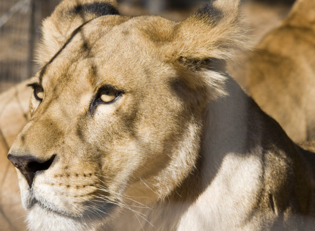 """""""Africa"""" one of the 33 rescued lions at home in South Africa. Photo: Suzanne de Jongh"""