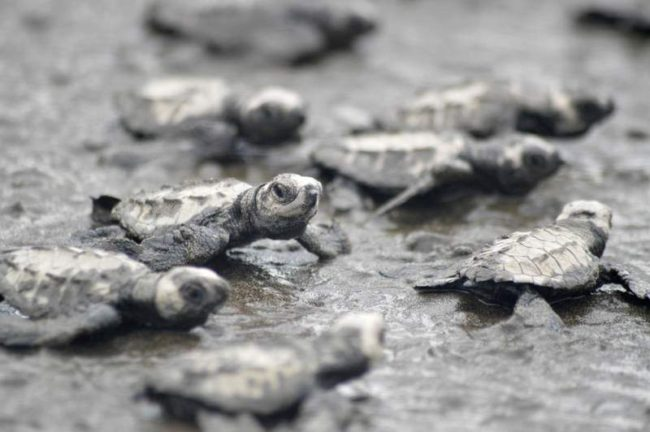 The baby turtles emerge from their nest and begin their pilgrimage to the sea