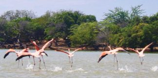 Flamingos in Colombia's La Guajira department. (Photo by Jacqui de Klerk)
