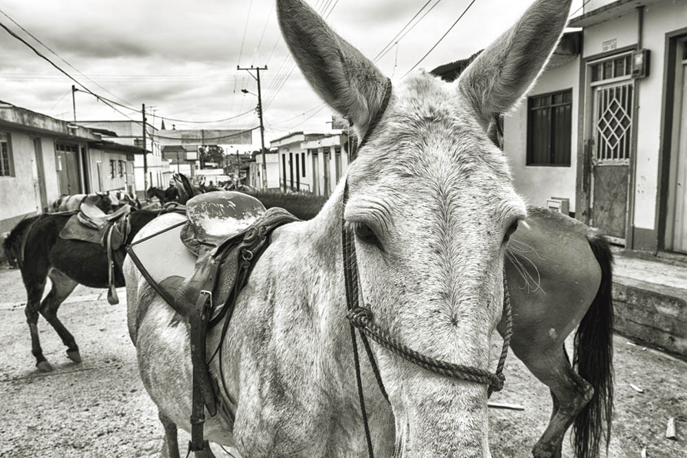 Mules block the street in Murillo, Colombia.